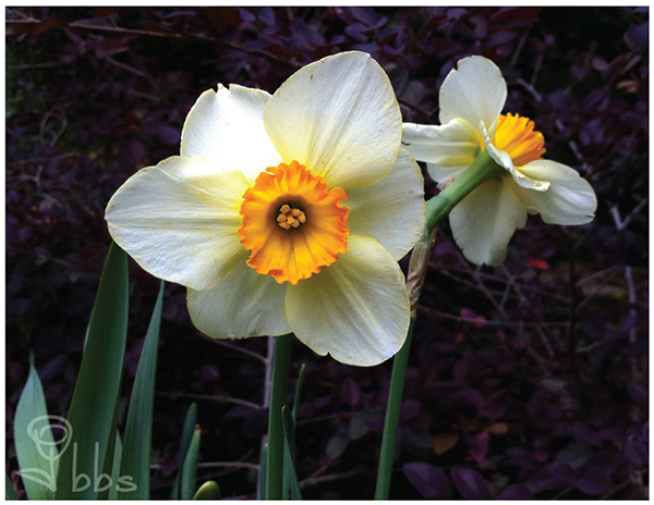 Daffodil Photography